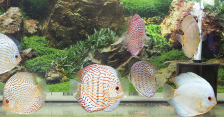 Beautiful freshwater aquarium with discus fishes, overview