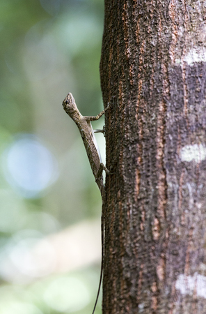 Flying lizard at Tangkoko national park, Sulawesi, Indonesia