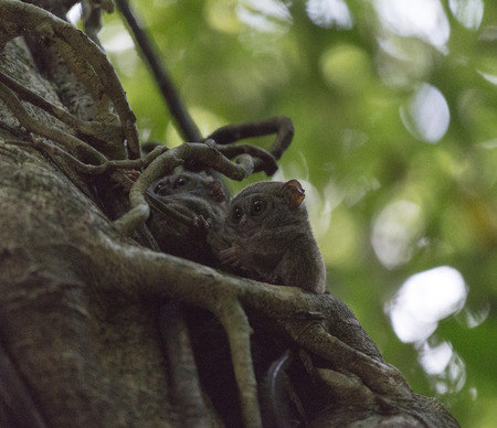 tarsius on a tree at Tangkoko national park