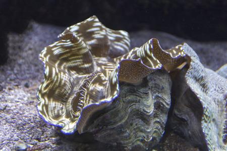 close up view of a giant tridacna clam Foto de archivo