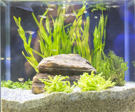 Beautiful tropical planted freshwater aquarium with fishes Stock Photo