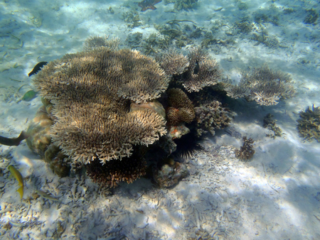 Coral reef in north Sulawesi, Indonesia sea
