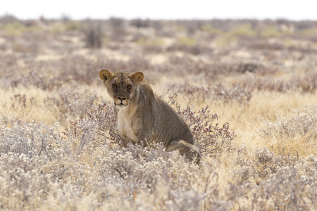 a beautiful female lion among bushes in namibia Фото со стока