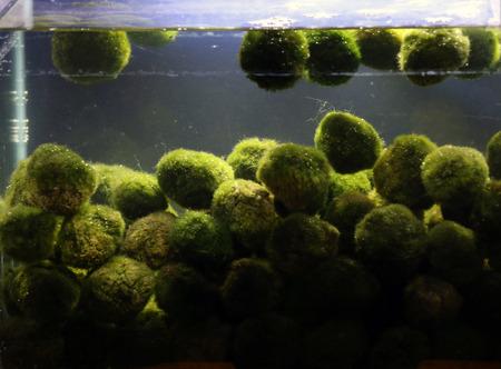 Cladophora plant balls in aquarium