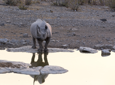 A white rhino in Namibia natural park