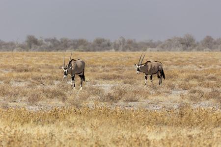 Couple of gemsbock, beisa Oryx gazella, stands on savannah in Namibia Stock Photo