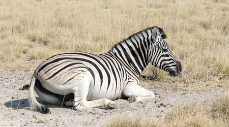 Zebra resting on the ground in Namibia