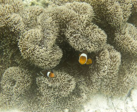 A beaufitul anemone fish in its coral, Indonesia