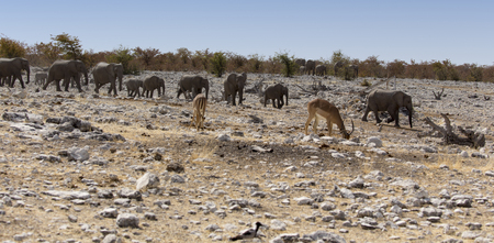 Large group of elephants arriving at water hole, Namibia