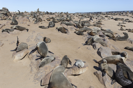 A huge seal colony in Namibia Imagens