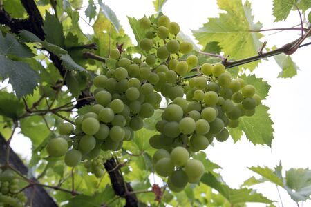 A close up photo of grape fruits in France