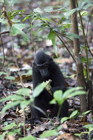 sitting black macaque at Tangkoko national park, Sulawesi, Indonesia Reklamní fotografie