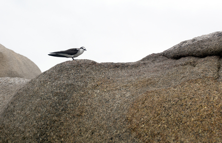 A Bridled Tern bird on a rock in Seychelles Banque d'images - 127530418