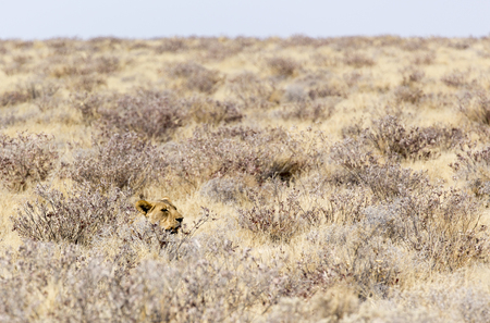 a beautiful female lion among bushes in namibia Stock Photo