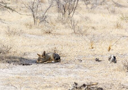 A black backed jackal sleeping in Namibia park Stockfoto