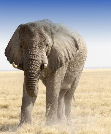A huge african elephant in namibia savannah