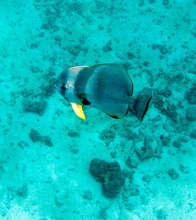 a big swimming fish in Seychelles Фото со стока
