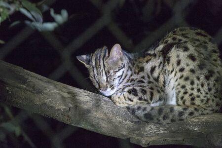 A Leopard in the night picture, Vietnam Stock fotó