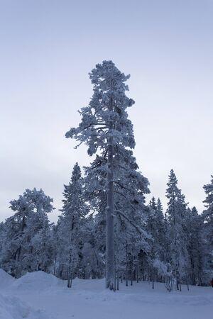 The lapland white frozen landscape during winter