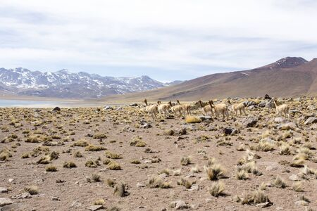 a Guanaco herd in andes, north Chile