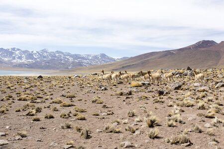 eine Guanako-Herde in den Anden, Nordchile