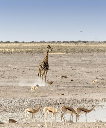 A Lonely giraffe among other animals in Namibian savanna