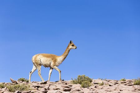 A lonely guanaco walking on the rocks, Chile Stockfoto