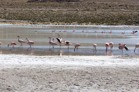 A photo of beautiful flamingoes in andes, Bolivia