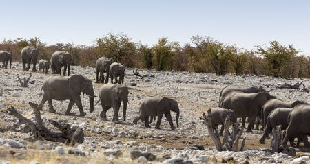 A view of elephant herd in Namibia Stockfoto