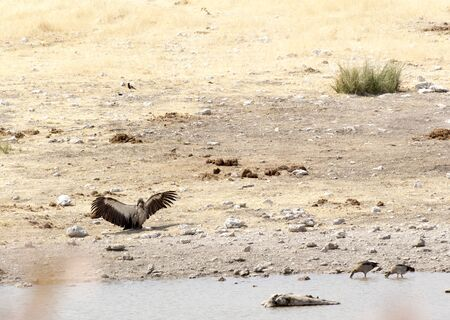 A white-backed vulture in the desert of Namibia