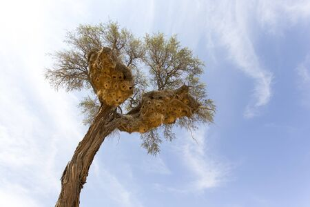 Big Weavers nest on a tree in Namibia desert