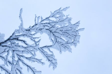 A detail of a frozen tree in lapland, Finland Stockfoto
