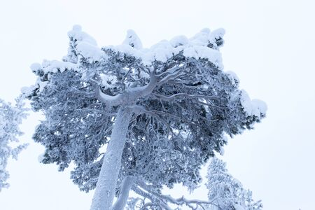 A view of a frozen tree in lapland, Finland