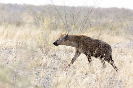 A dangerous spotted hyena found in Namibia park