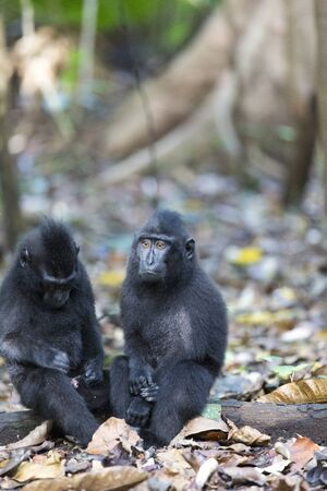 Two monkeys in the forest in north Sulawesi, Indonesia Imagens