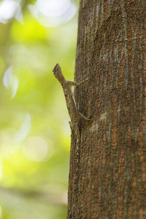 A flying lizard in Tangkoko national park, Indonesia