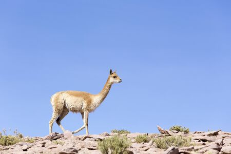 A photo of a Guanaco in Chile