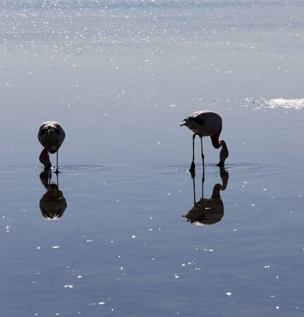 Two flamingoes in a salt lagoon, Chile