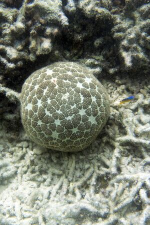 Pincushion starfish or Culcita novaeguineae in the sea of Togian islands, Indonesia 写真素材
