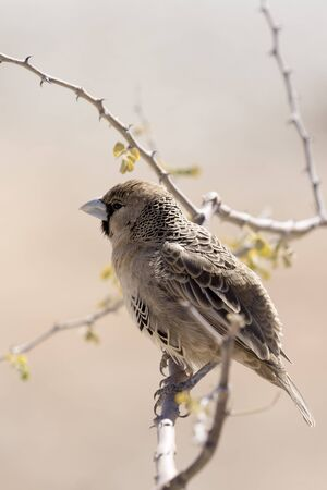 A photo of a sparrow in Namibia
