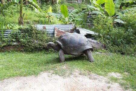 A giant turtle in Seychelles islands, Seychelles