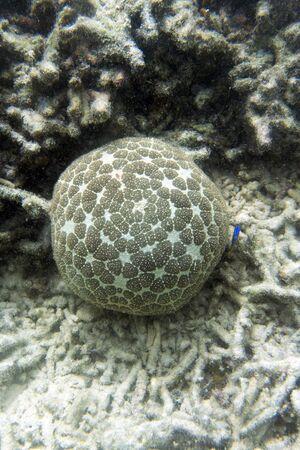 Pincushion starfish or Culcita novaeguineae in the sea of Togian islands, Indonesia