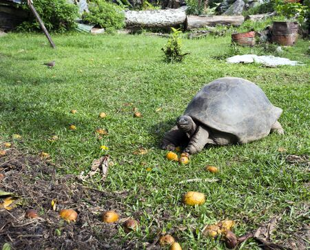 A typical giant turtle in Seychelles islands