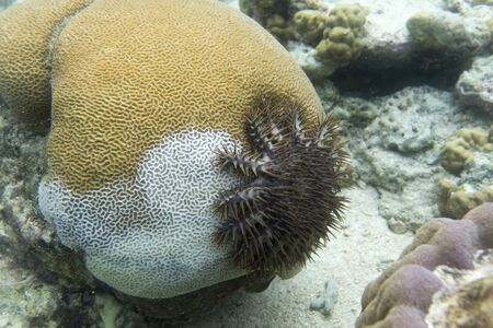 A crown of thorns starfish is killing corals