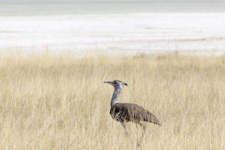 A kori bustard bird observed in Namibia