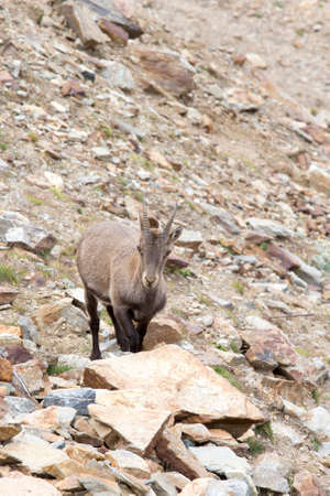 Photo of female Alpine ibex in north of Italy