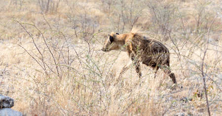 A spotted hyena hunting in the savannah of Namibia Archivio Fotografico