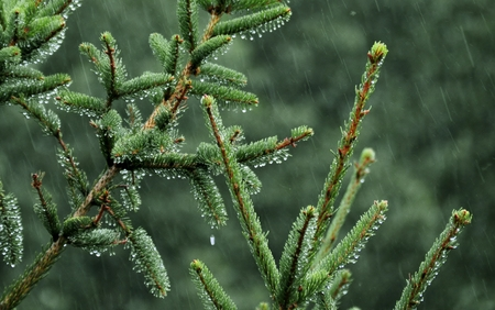 downpour: pine Stock Photo