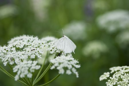 coloration: white butterfly and protective coloration Stock Photo