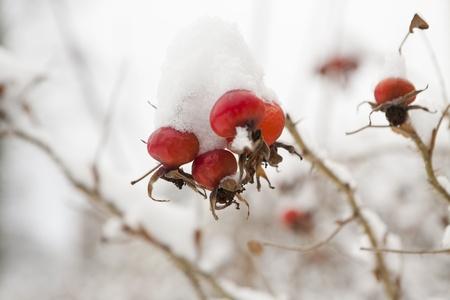 big red rose hips macro in winter Stock Photo